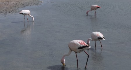 Flamingoes found in Lagoon Colorado (the lagon happens to be pink in colour due to the microorganisms present).