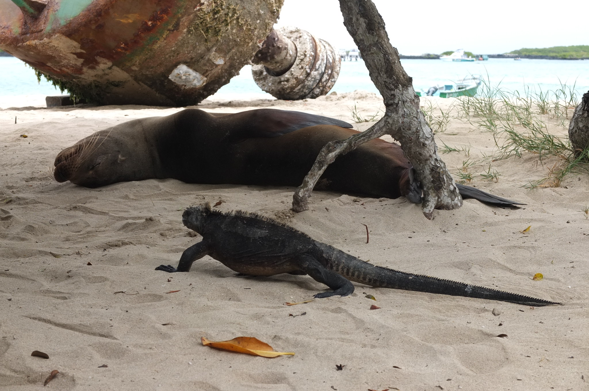 Sealion and Iguana together?