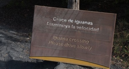 Iguana Crossing