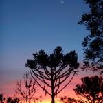 Araucaya Tree