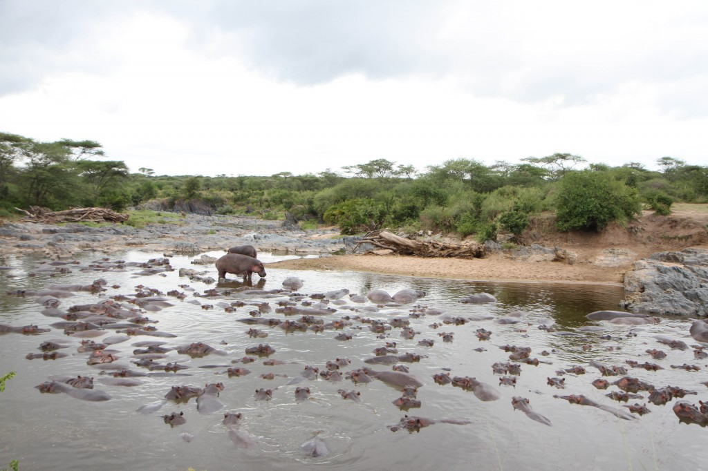 Nope they are not rocks in the lake, just many, many hippos