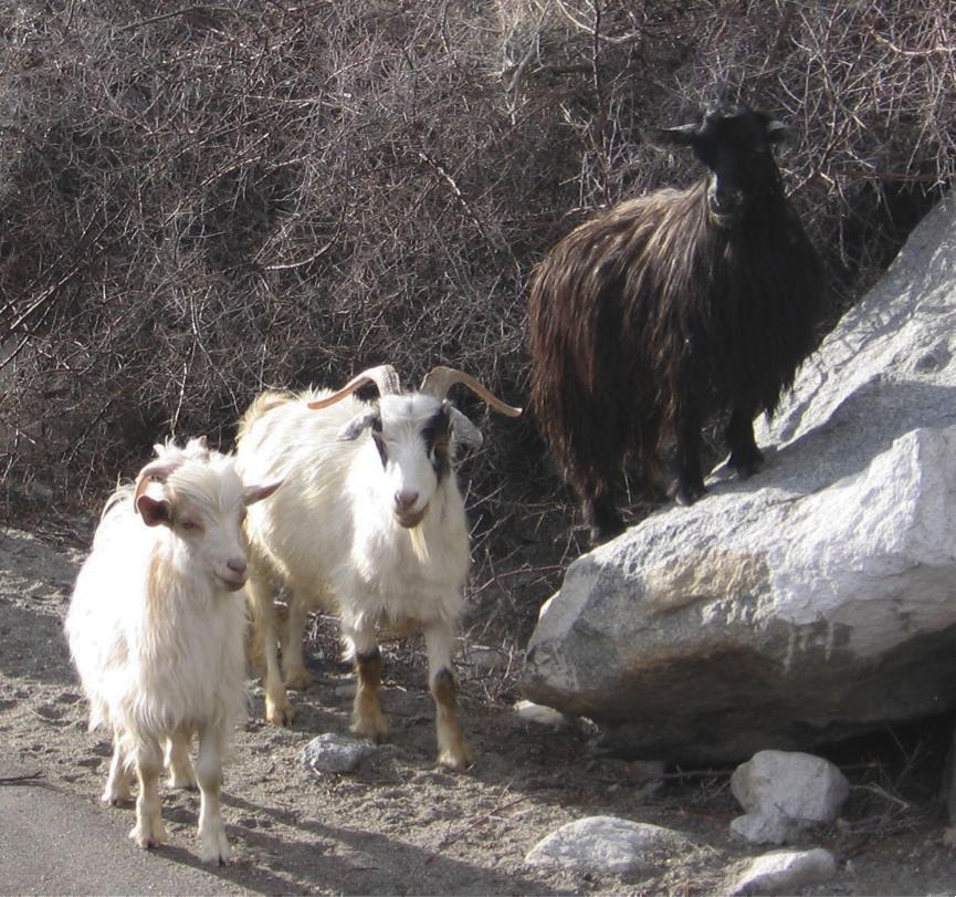 11.1- Pashmina goat