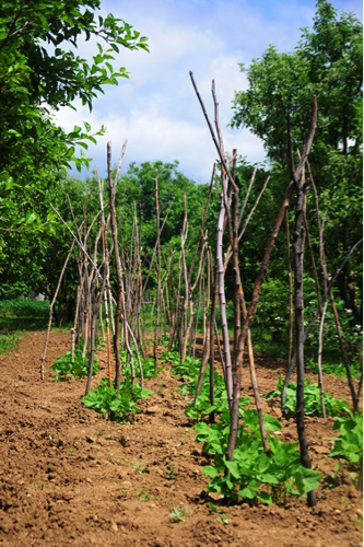 Beanstalks and the wooden poles I made