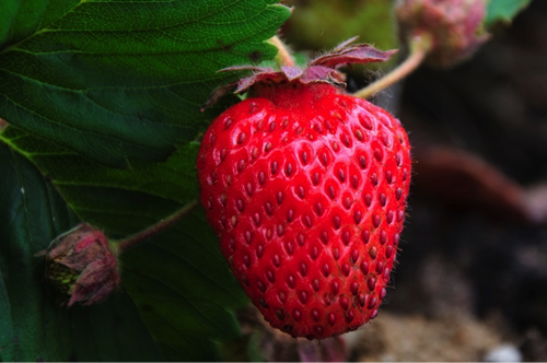 This juicy red strawberry just asks to be eaten
