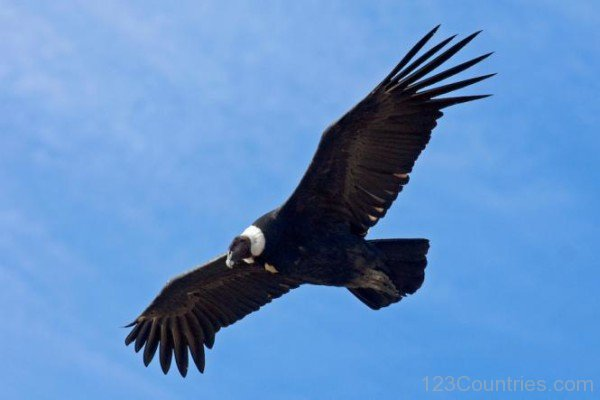 condorbird.jpg
