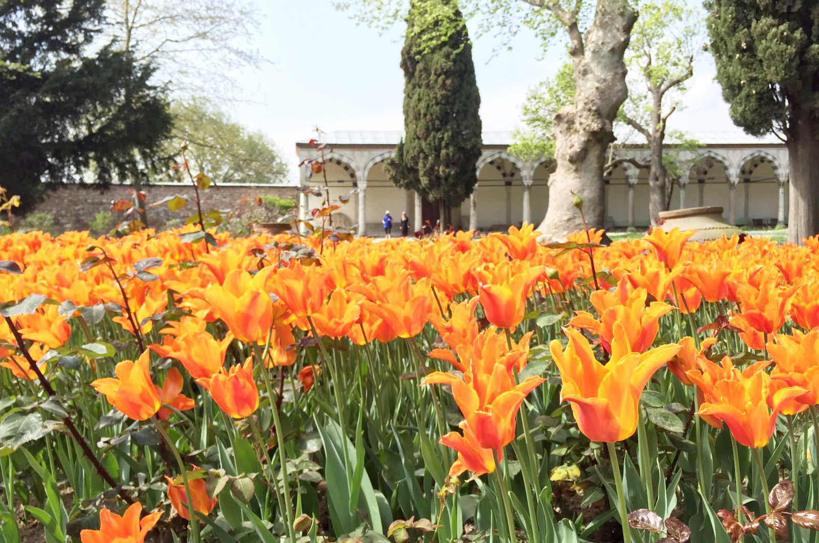 Tulips sprouted at every corner in Istanbul. PHOTO: Ahmad Mubeen
